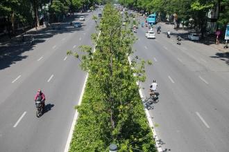 Hà Nội đánh chuyển toàn bộ hàng cây phong lá đỏ để... tránh nắng