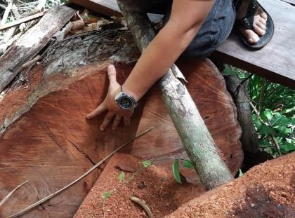 """Đắk Lắk: Rừng Cư Yang bị """"lâm tặc"""" phá tan hoang, cán bộ lâm trường.. không biết (?)"""