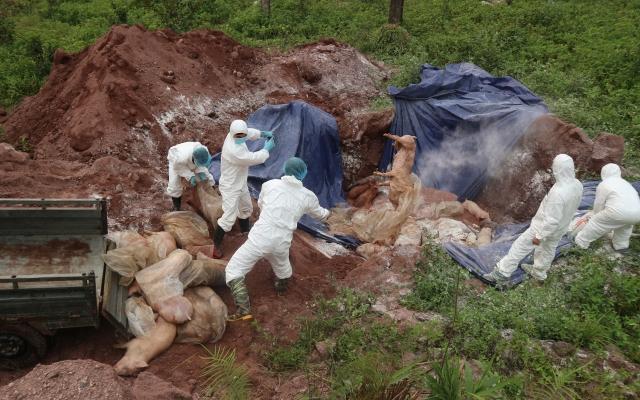 Hà Giang: Có giấy kiểm dịch động vật nhưng đàn lợn vẫn dương tính với dịch tả lợn châu Phi