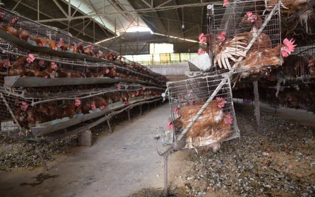 Lâm Đồng: Người dân bức xúc, trại gà trong khu dân cư bốc mùi hôi thối