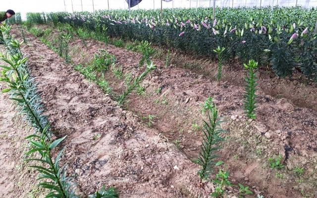 Gần tết, kẻ gian lĩnh đột nhập nhổ hơn 1.400 gốc hoa Ly của 2 hộ nông dân