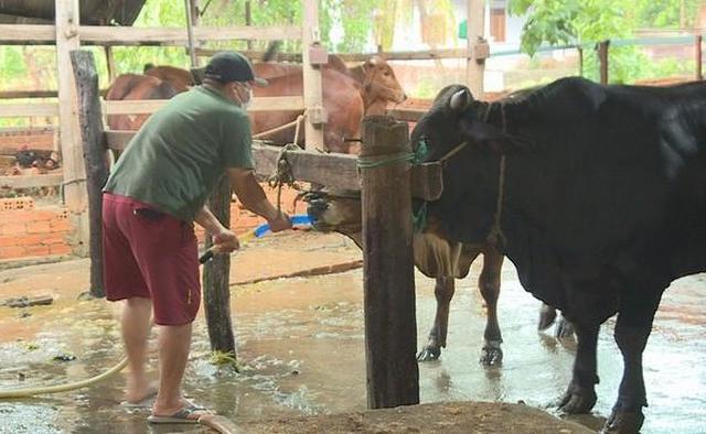 Bắt quả tang lò mổ bơm nước vào bụng bò trước khi giết thịt