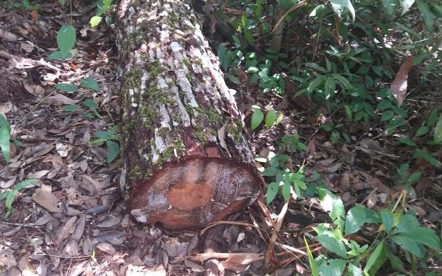 Gia Lai: Phát hiện nhiều cây gỗ quý bị triệt hạ tại rừng phòng hộ Chư Mố