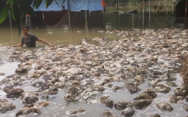 Thủy Tiên hỗ trợ chủ trang trại gà trắng tay sau lũ tái khởi nghiệp