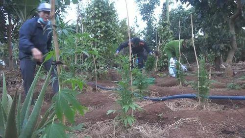 Đắk Lắk: Bắt quả tang người đàn ông trồng hơn 1.000 cây cần sa