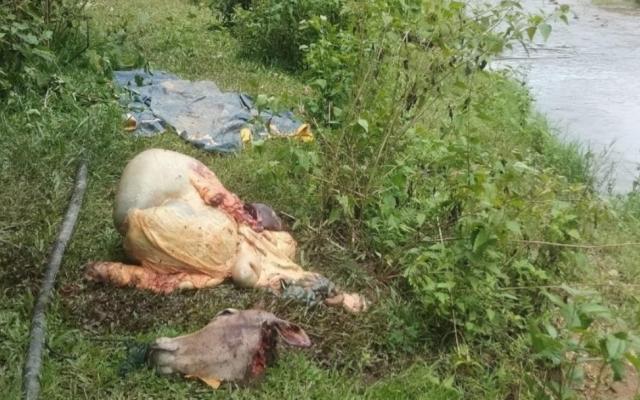 Kon Tum: Truy tìm kẻ trộm bò của dân mang đi xẻ thịt