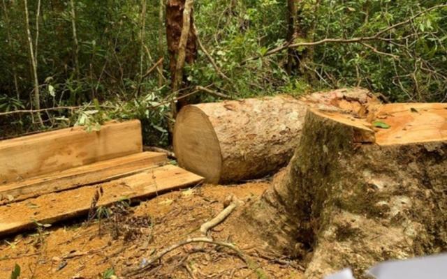 Gia Lai: Khởi tố Trạm trưởng bảo vệ rừng và các thuộc cấp khai thác gỗ trái phép