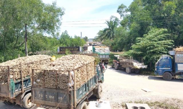 """Nông dân Thừa Thiên-Huế """"vật vã"""" xếp hàng chờ bán sắn"""