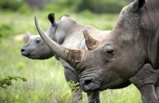 Thế giới sẽ ngập tràn sừng tê giác giả làm từ lông ngựa?
