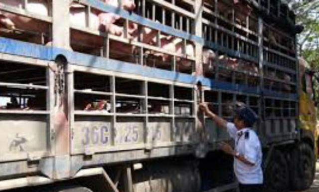 Kiểm soát chặt vận chuyển lợn qua biên giới