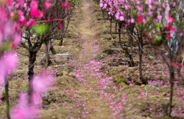 """Đào Nhật Tân bung nở, rụng đỏ gốc: Khách kéo nhau chụp ảnh, nông dân thẫn thờ lo """"trắng tay"""""""