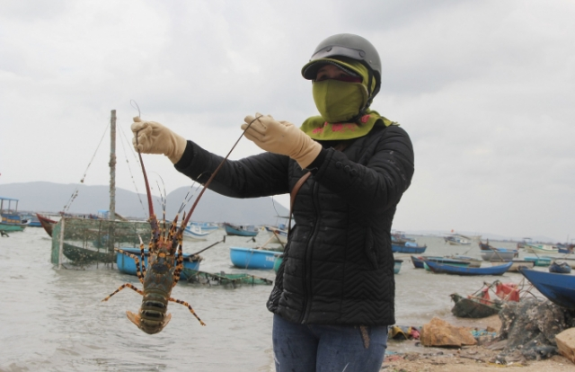 """Tin kinh tế 6AM: Giá vàng lập đỉnh cao mới; Thực hư chuyện """"giải cứu tôm hùm Phú Yên"""" giá 200.000 đồng/ký"""