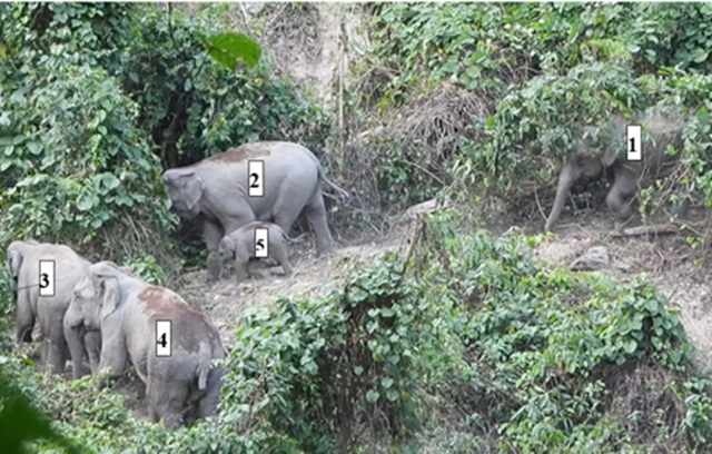 Voi rừng ở Quảng Nam đã sinh con
