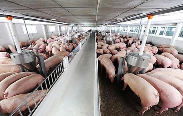"""Giá lợn hơi hôm nay 3/1: Nhiều yếu tố """"đẩy"""" giá lợn tăng cao?"""