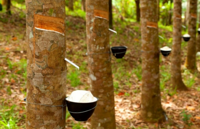 Thái Lan có kế hoạch cắt giảm xuất khẩu cao su