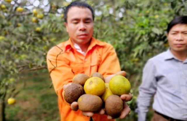 Quýt PQ Nghệ An 2.000 đồng/kg không ai mua, thương lái không xuất hiện