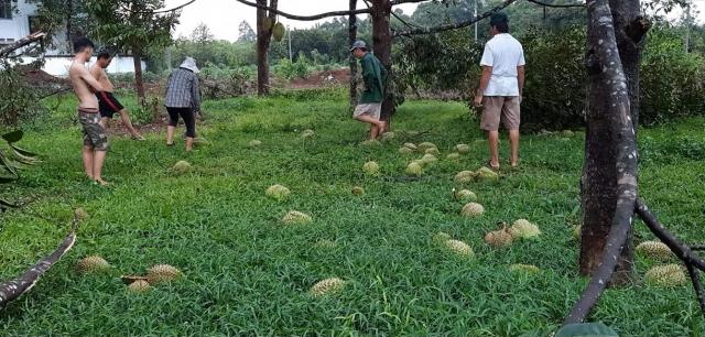 Mưa lớn gây thiệt hại nông sản của người dân Đồng Nai