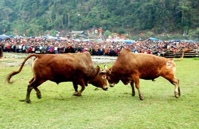 Lên Bắc Kạn xem lễ hội Chọi bò có một không hai