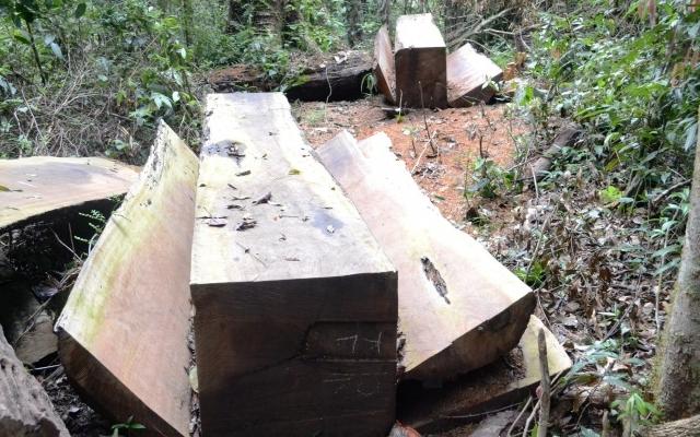 Đắk Nông: Được thuê chở gỗ vật chứng, tiện thể chặt hạ 17m3 gỗ trái phép