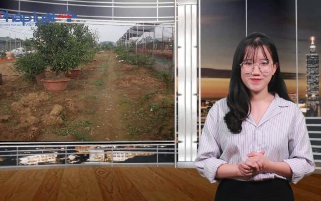 Bản tin Xuân 3 miền: Sự hồi sinh của những cây quất sau dịp Tết