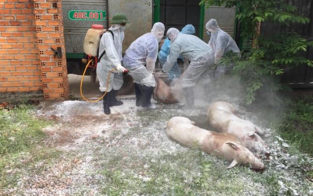 Xuất hiện dịch tả lợn châu Phi ở Đắk Lắk