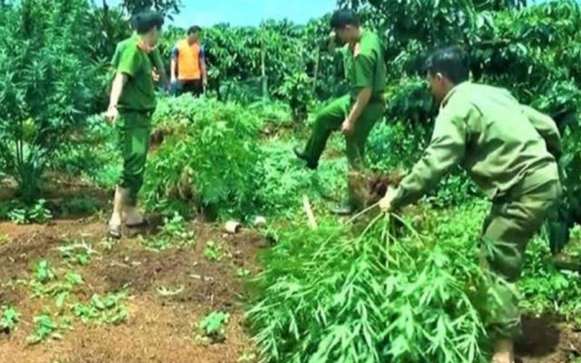 Đắk Nông: Phát hiện, thu giữ một số lượng lớn cây cần sa trong rẫy cà phê