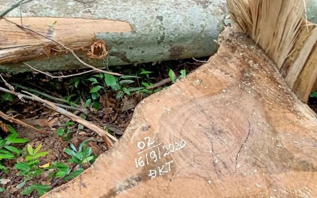 """Gia Lai: Điều tra các đối tượng cưa hạ 4 cây """"khủng""""."""