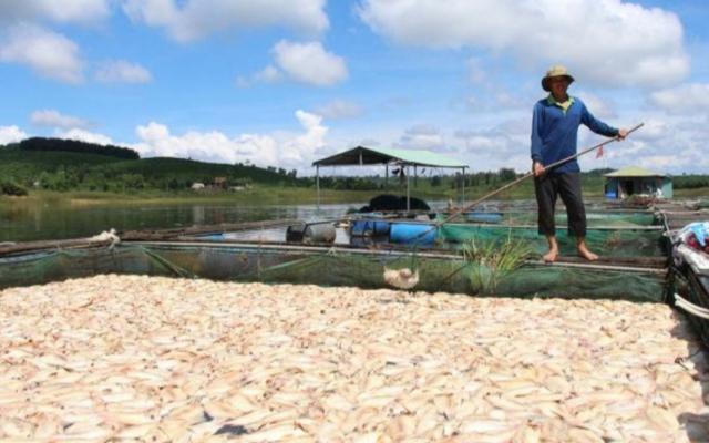 26 tấn cá diêu hồng chết trắng do mưa bão tại Kon Tum