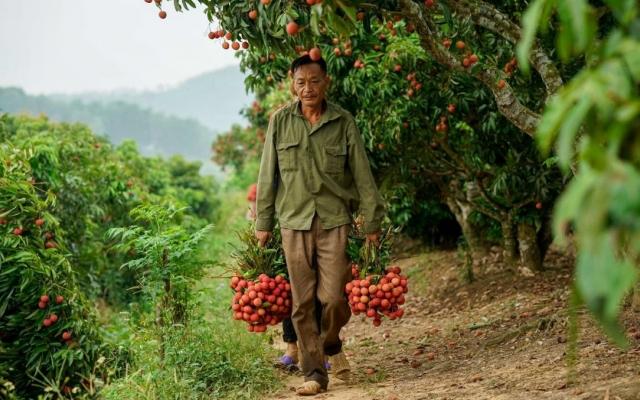 Đắk Lắk: Cục Quản lý thị trường hỗ trợ bán vải thiều cho nông dân Bắc Giang