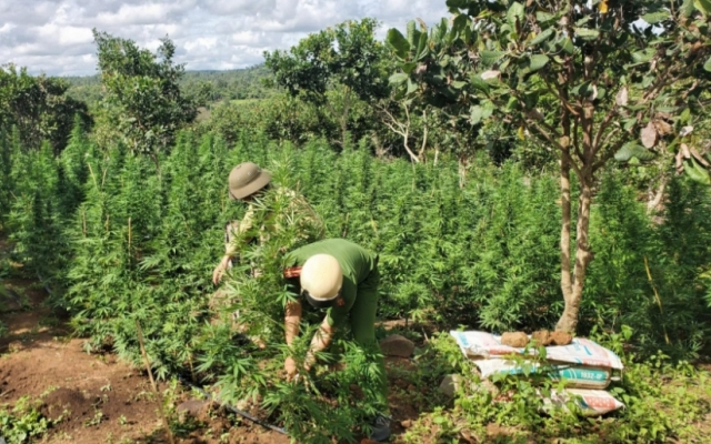 Đắk Lắk: Phát hiện 2 vụ trồng cần sa quy mô lớn để...