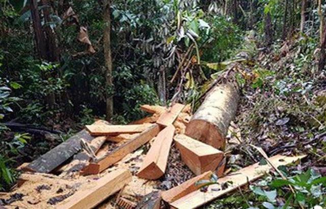 Đắk Lắk: 13 đối tượng vào rừng đốn gỗ Hương, bán lấy tiền tiêu xài