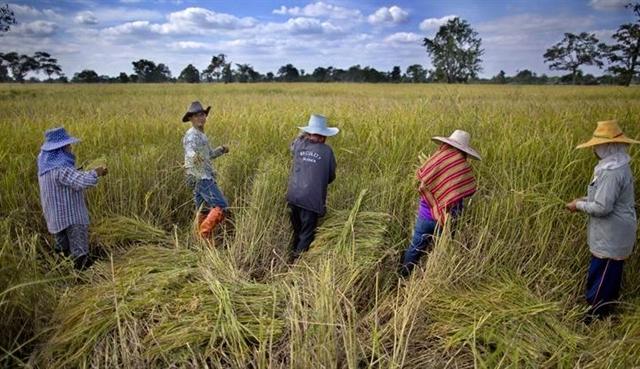 Thái Lan sẽ điều chỉnh diện tích trồng lúa