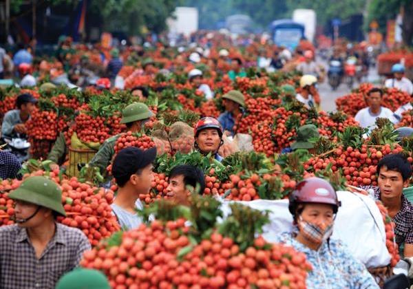 Bắc Giang xây dựng 3 kịch bản nhằm tiêu thụ hết 180.000 tấn vải thiều