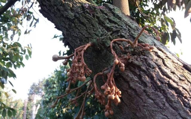 Điều tra vụ hàng chục cây sầu riêng bị đầu độc ở Đắk Lắk