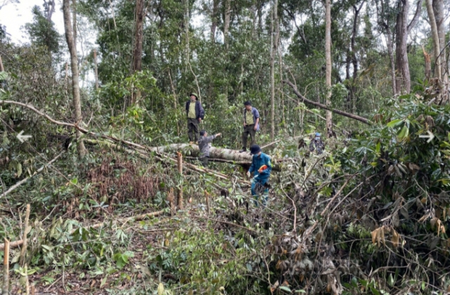 Lâm tặc dùng cưa điện không tiếng ồn, phá rừng vào ban đêm
