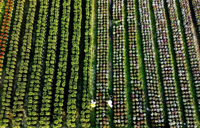 Những ruộng hoa háo hức chờ xuất vườn đón xuân Canh Tý