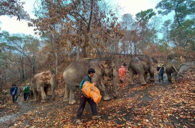 Hàng trăm con voi đi bộ về quê vì