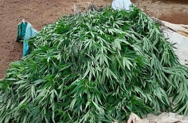 Đắk Nông: Hàng loạt hộ dân trồng cây cần sa trái phép