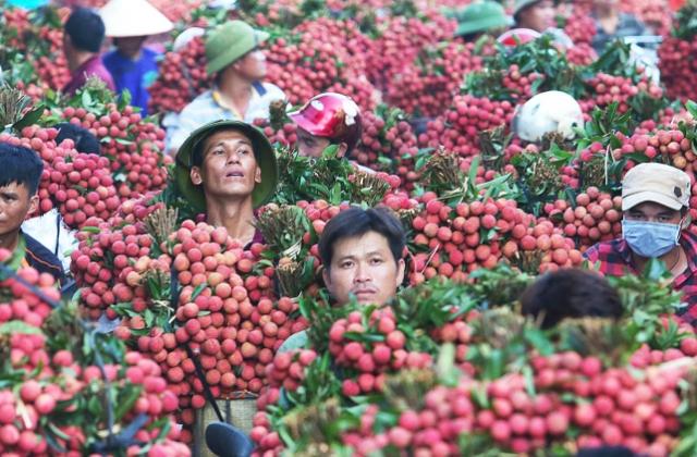 Vải thiều Lục Ngạn giá tốt, mã đẹp, người dân lắp camera trông vườn