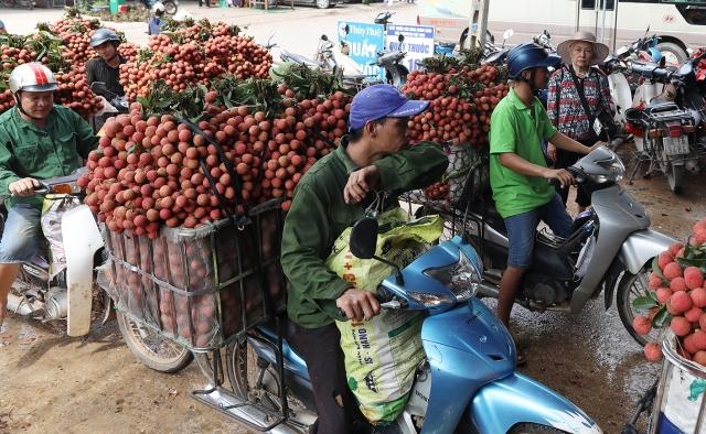 Dự kiến có 1.000 tấn vải thiều Bắc Giang sẽ xuất khẩu tới thị trường EU, Mỹ, Singapore...
