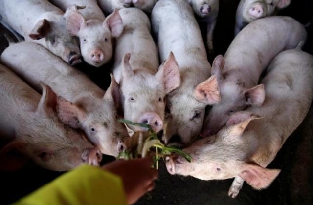 Giá thịt lợn vẫn cao, Bộ trưởng Nguyễn Xuân Cường lý giải do dịch tả lợn Châu Phi hoành hành