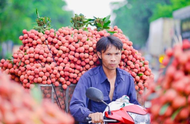Thủ phủ vải thiều Lục Ngạn sẽ thu hoạch trái vải chín sớm từ 20/5