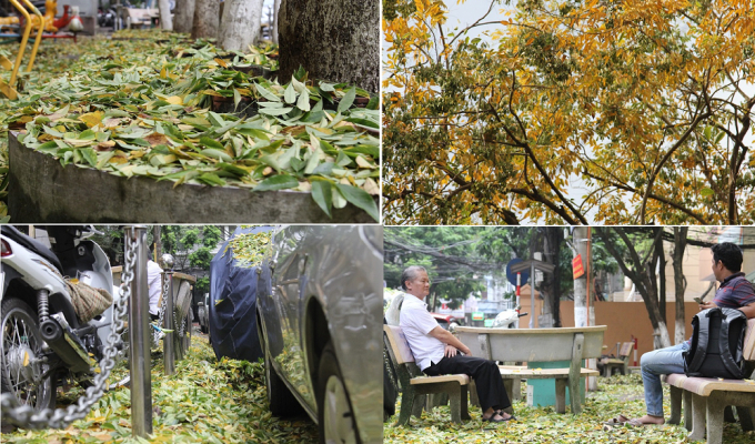 Hà Nội: Kỳ lạ hàng cây gỗ sưa bất ngờ rụng lá dày đặc khiến người dân hoang mang